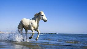 Camargue White Horse Running Near Sea